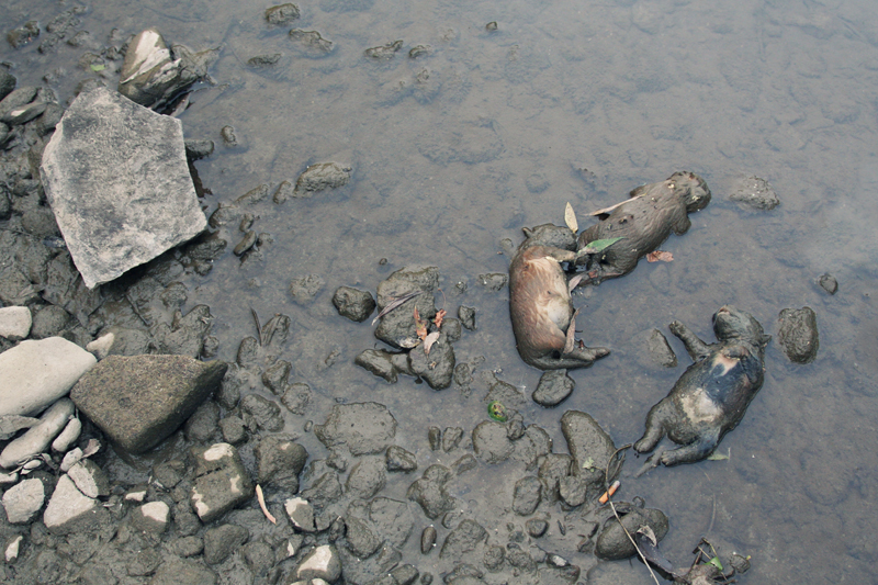 Dead animals dumped in a river.<br />ROMANIA, Brad | 2009